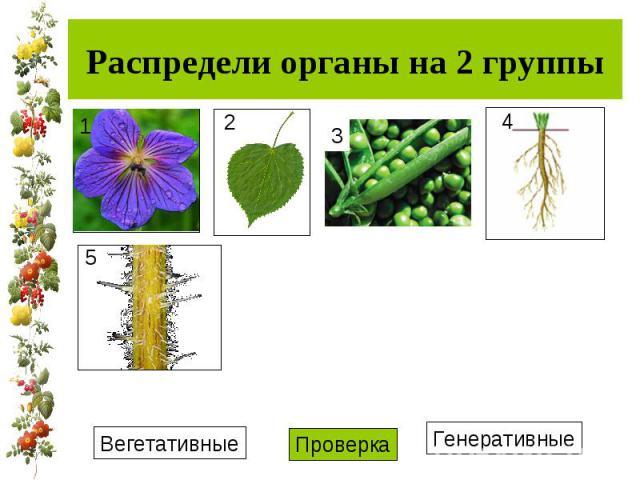 Распредели органы на 2 группы