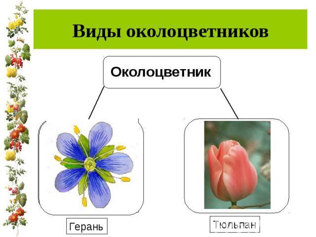 Виды околоцветников