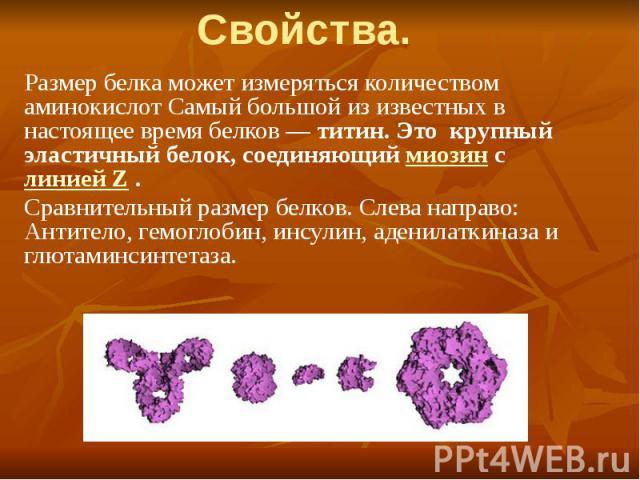 Свойства. Размер белка может измеряться количеством аминокислот Самый большой из известных в настоящее время белков — титин. Это крупный эластичный белок, соединяющий миозин с линией Z . Сравнительный размер белков. Слева направо: Антитело, гемоглоб…