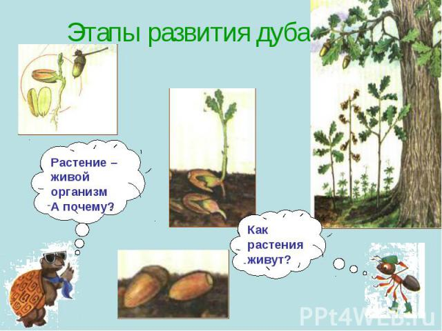 Этапы развития дуба