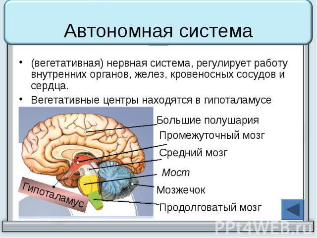 Автономная система (вегетативная) нервная система, регулирует работу внутренних органов, желез, кровеносных сосудов и сердца. Вегетативные центры находятся в гипоталамусе