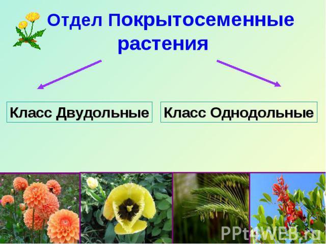 Отдел Покрытосеменные растения