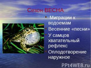 Сезон ВЕСНА Миграции к водоемам Весенние «песни» У самцов хватательный рефлекс О