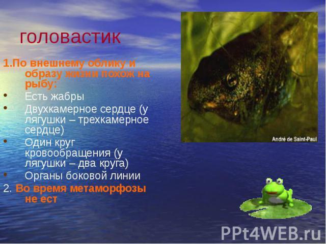 головастик 1.По внешнему облику и образу жизни похож на рыбу: Есть жабры Двухкамерное сердце (у лягушки – трехкамерное сердце) Один круг кровообращения (у лягушки – два круга) Органы боковой линии 2. Во время метаморфозы не ест