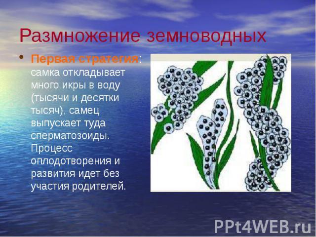 Размножение земноводных Первая стратегия: самка откладывает много икры в воду (тысячи и десятки тысяч), самец выпускает туда сперматозоиды. Процесс оплодотворения и развития идет без участия родителей.