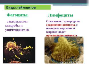 Виды лейкоцитов Фагоциты. захватывают микробы и уничтожают их