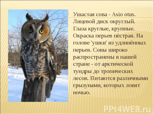 Ушастая сова - Asio otus. Лицевой диск округлый. Глаза круглые, крупные. Окраска перьев пёстрая. На голове 'ушки' из удлинённых перьев. Совы широко распространены в нашей стране - от арктической тундры до тропических лесов. Питаются различными грызу…
