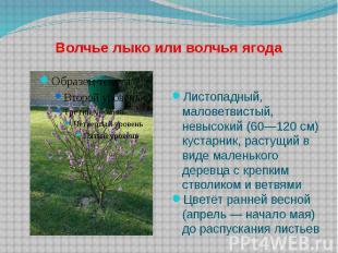 Волчье лыко или волчья ягода Листопадный, маловетвистый, невысокий (60—120 см) к