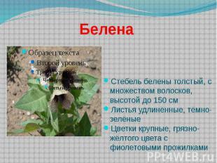 Белена Стебель белены толстый, с множеством волосков, высотой до 150 см Листья у