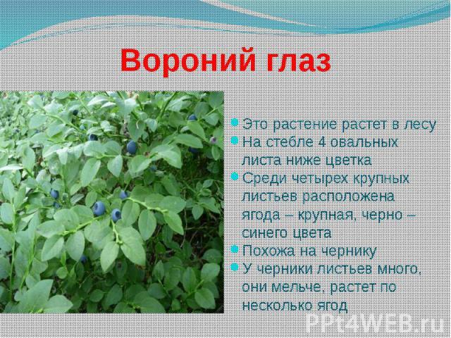 Вороний глаз Это растение растет в лесу На стебле 4 овальных листа ниже цветка Среди четырех крупных листьев расположена ягода – крупная, черно – синего цвета Похожа на чернику У черники листьев много, они мельче, растет по несколько ягод