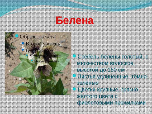 Белена Стебель белены толстый, с множеством волосков, высотой до 150 см Листья удлинённые, тёмно-зелёные Цветки крупные, грязно-жёлтого цвета с фиолетовыми прожилками