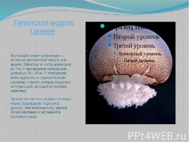 Гигантская медуза Цианея Настоящий гигант среди медуз — полярная (арктическая) медуза, или цианея. Известны ее особи диаметром до 2 м со свисающими щупальцами длиной до 20—30 м. У этой медузы много щупалец со стрекательными клетками, «ожоги» которых…