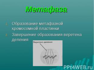 Образование метафазной хромосомной пластинки Образование метафазной хромосомной
