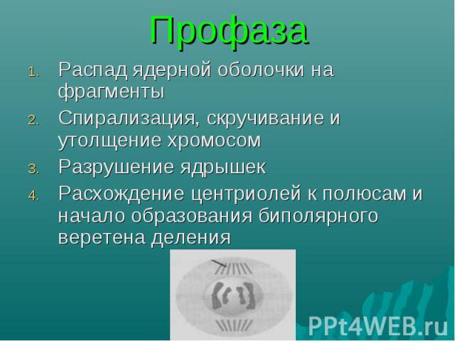 Распад ядерной оболочки на фрагменты Распад ядерной оболочки на фрагменты Спирализация, скручивание и утолщение хромосом Разрушение ядрышек Расхождение центриолей к полюсам и начало образования биполярного веретена деления