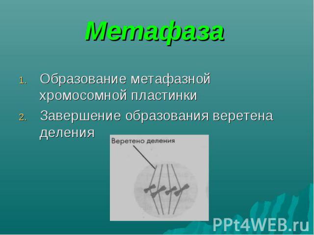 Образование метафазной хромосомной пластинки Образование метафазной хромосомной пластинки Завершение образования веретена деления
