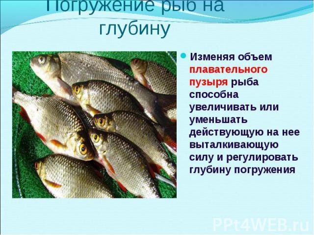 Изменяя объем плавательного пузыря рыба способна увеличивать или уменьшать действующую на нее выталкивающую силу и регулировать глубину погружения Изменяя объем плавательного пузыря рыба способна увеличивать или уменьшать действующую на нее выталкив…