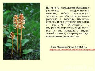 На многих сельскохозяйственных растениях (подсолнечник, конопля, табак) паразити