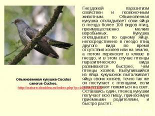 Гнездовой паразитизм свойствен и позвоночным животным. Обыкновенная кукушка откл