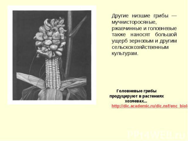 Другие низшие грибы — мучнисторосяные, ржавчинные и головневые также наносят большой ущерб зерновым и другим сельскохозяйственным культурам. Другие низшие грибы — мучнисторосяные, ржавчинные и головневые также наносят большой ущерб зерновым и другим…