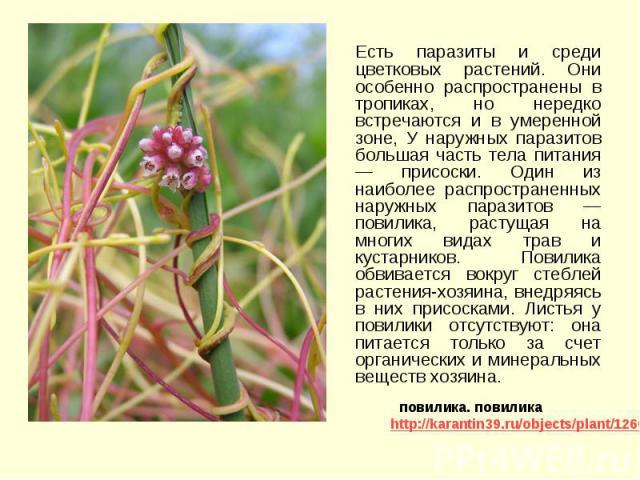 Есть паразиты и среди цветковых растений. Они особенно распространены в тропиках, но нередко встречаются и в умеренной зоне, У наружных паразитов большая часть тела питания — присоски. Один из наиболее распространенных наружных паразитов — повилика,…