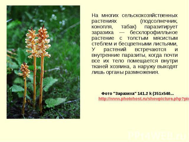 На многих сельскохозяйственных растениях (подсолнечник, конопля, табак) паразитирует заразиха — бесхлорофилльное растение с толстым мясистым стеблем и бесцветными листьями, У растений встречаются и внутренние паразиты, когда почти все их тело помеща…