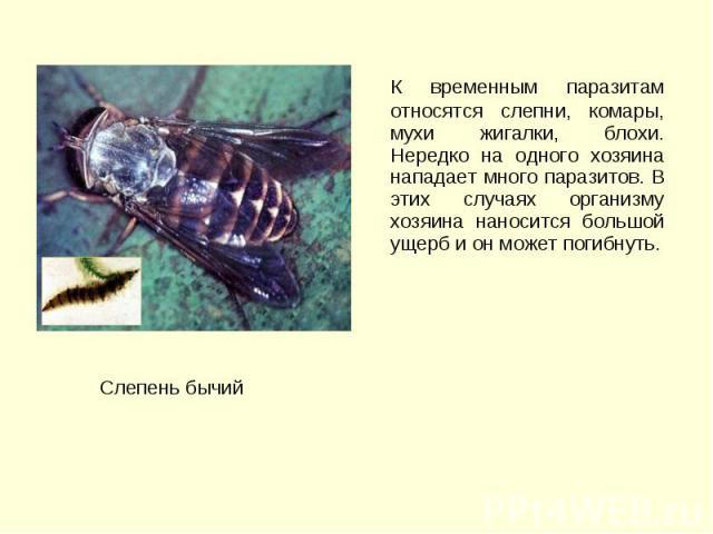 К временным паразитам относятся слепни, комары, мухи жигалки, блохи. Нередко на одного хозяина нападает много паразитов. В этих случаях организму хозяина наносится большой ущерб и он может погибнуть. К временным паразитам относятся слепни, комары, м…