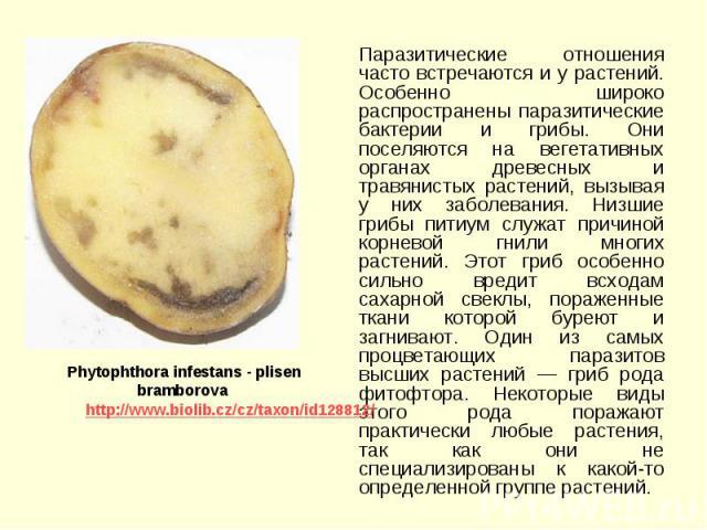 Паразитические отношения часто встречаются и у растений. Особенно широко распространены паразитические бактерии и грибы. Они поселяются на вегетативных органах древесных и травянистых растений, вызывая у них заболевания. Низшие грибы питиум служат п…