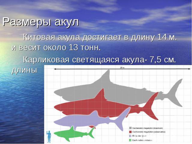 Китовая акула достигает в длину 14 м. и весит около 13 тонн. Китовая акула достигает в длину 14 м. и весит около 13 тонн. Карликовая светящаяся акула- 7,5 см. длины
