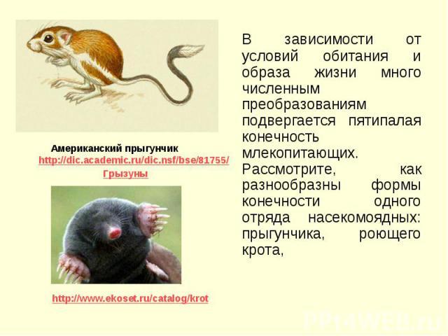 В зависимости от условий обитания и образа жизни много численным преобразованиям подвергается пятипалая конечность млекопитающих. Рассмотрите, как разнообразны формы конечности одного отряда насекомоядных: прыгунчика, роющего крота, В зависимости от…