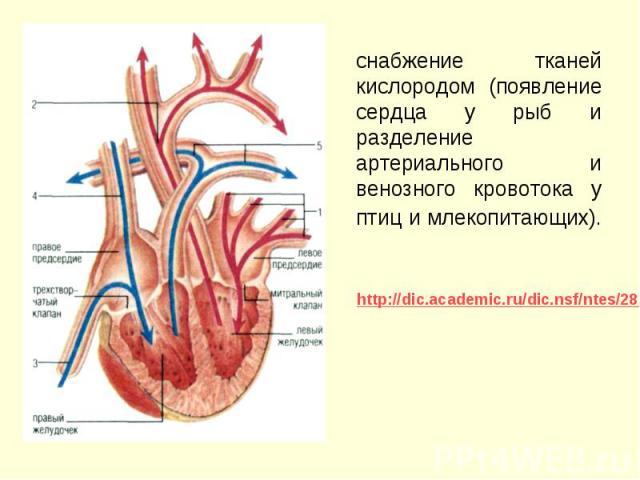снабжение тканей кислородом (появление сердца у рыб и разделение артериального и венозного кровотока у птиц и млекопитающих). снабжение тканей кислородом (появление сердца у рыб и разделение артериального и венозного кровотока у птиц и млекопитающих).
