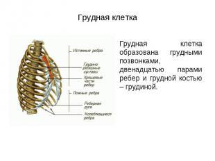 Грудная клетка образована грудными позвонками, двенадцатью парами ребер и грудно