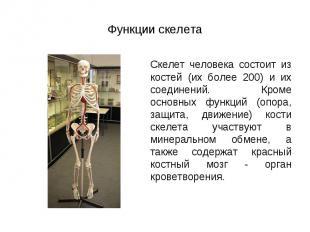 Скелет человека состоит из костей (их более 200) и их соединений. Кроме основных