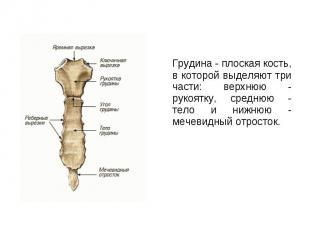 Грудина - плоская кость, в которой выделяют три части: верхнюю - рукоятку, средн