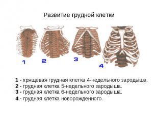 1 - хрящевая грудная клетка 4-недельного зародыша. 2 - грудная клетка 5-недельно