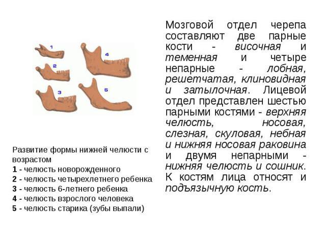 Мозговой отдел черепа составляют две парные кости - височная и теменная и четыре непарные - лобная, решетчатая, клиновидная и затылочная. Лицевой отдел представлен шестью парными костями - верхняя челюсть, носовая, слезная, скуловая, небная и нижняя…
