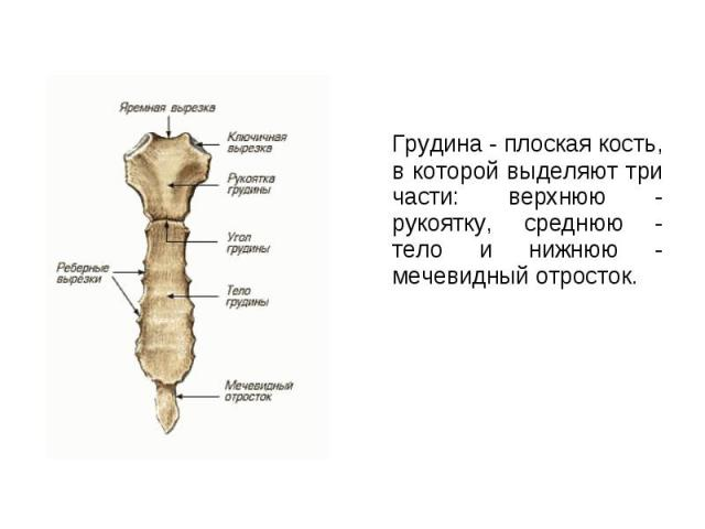 Грудина - плоская кость, в которой выделяют три части: верхнюю - рукоятку, среднюю - тело и нижнюю - мечевидный отросток. Грудина - плоская кость, в которой выделяют три части: верхнюю - рукоятку, среднюю - тело и нижнюю - мечевидный отросток.