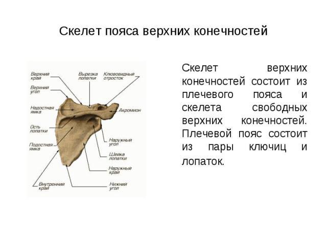 Скелет верхних конечностей состоит из плечевого пояса и скелета свободных верхних конечностей. Плечевой пояс состоит из пары ключиц и лопаток. Скелет верхних конечностей состоит из плечевого пояса и скелета свободных верхних конечностей. Плечевой по…