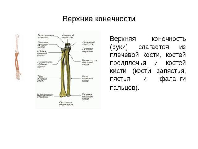 Верхняя конечность (руки) слагается из плечевой кости, костей предплечья и костей кисти (кости запястья, пястья и фаланги пальцев). Верхняя конечность (руки) слагается из плечевой кости, костей предплечья и костей кисти (кости запястья, пястья и фал…
