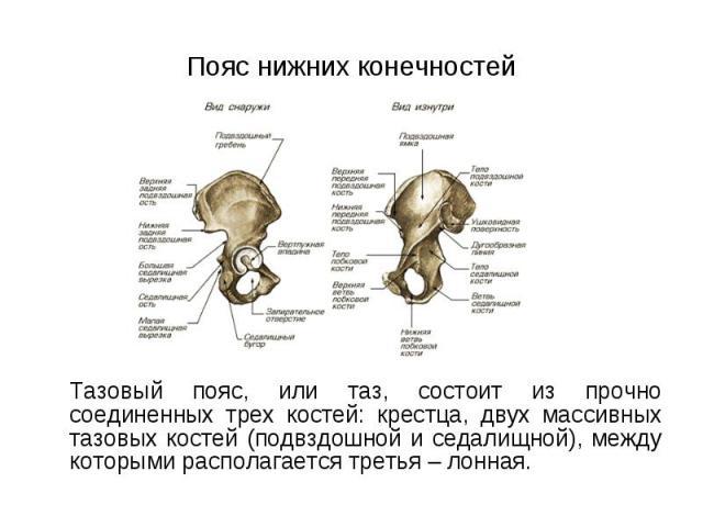 Тазовый пояс, или таз, состоит из прочно соединенных трех костей: крестца, двух массивных тазовых костей (подвздошной и седалищной), между которыми располагается третья – лонная. Тазовый пояс, или таз, состоит из прочно соединенных трех костей: крес…