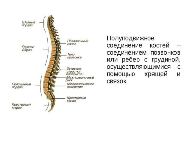 Полуподвижное соединение костей – соединением позвонков или рёбер с грудиной, осуществляющимися с помощью хрящей и связок. Полуподвижное соединение костей – соединением позвонков или рёбер с грудиной, осуществляющимися с помощью хрящей и связок.