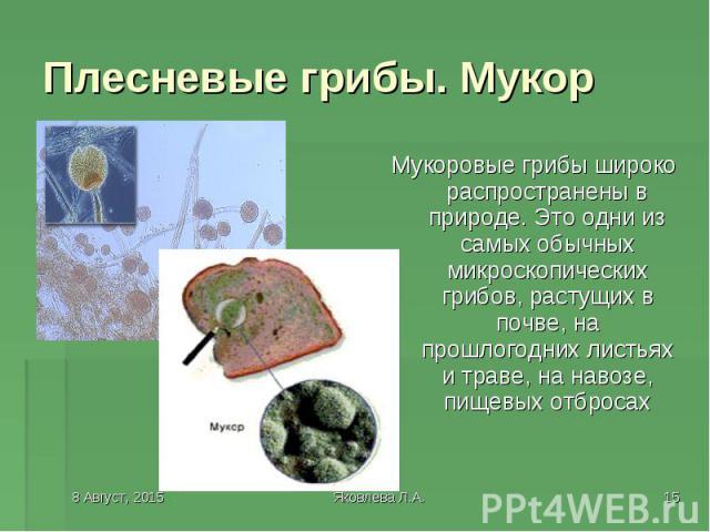 Мукоровые грибы широко распространены в природе. Это одни из самых обычных микроскопических грибов, растущих в почве, на прошлогодних листьях и траве, на навозе, пищевых отбросах Мукоровые грибы широко распространены в природе. Это одни из самых обы…