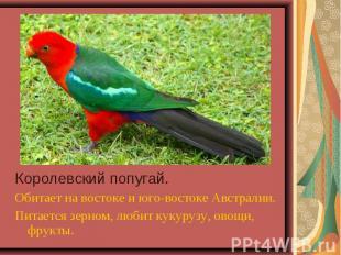 Королевский попугай. Королевский попугай. Обитает на востоке и юго-востоке Австр