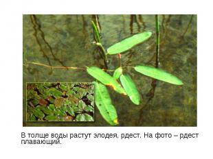 В толще воды растут элодея, рдест. На фото – рдест плавающий. В толще воды расту