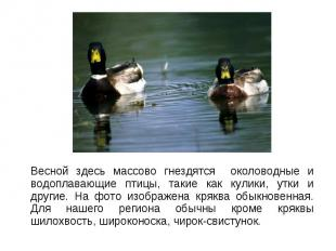 Весной здесь массово гнездятся околоводные и водоплавающие птицы, такие как кули