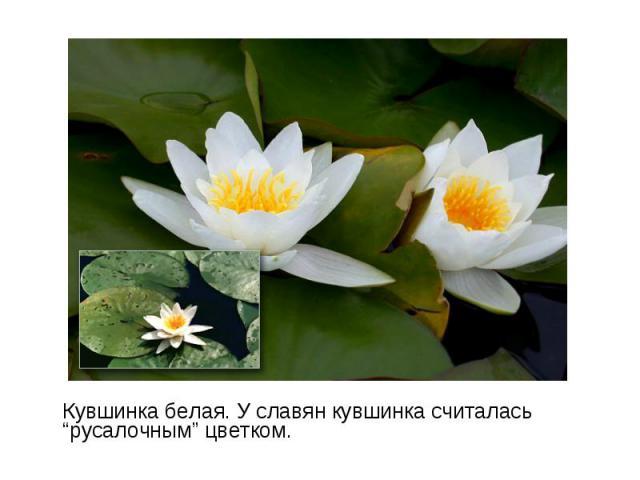 "Кувшинка белая. У славян кувшинка считалась ""русалочным"" цветком. Кувшинка белая. У славян кувшинка считалась ""русалочным"" цветком."