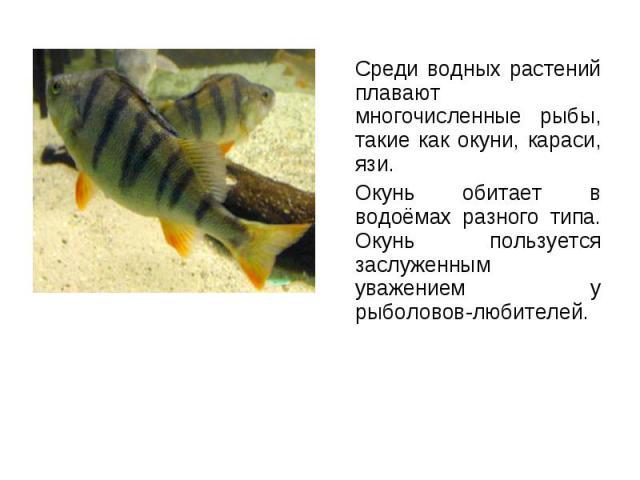 Среди водных растений плавают многочисленные рыбы, такие как окуни, караси, язи. Среди водных растений плавают многочисленные рыбы, такие как окуни, караси, язи. Окунь обитает в водоёмах разного типа. Окунь пользуется заслуженным уважением у рыболов…