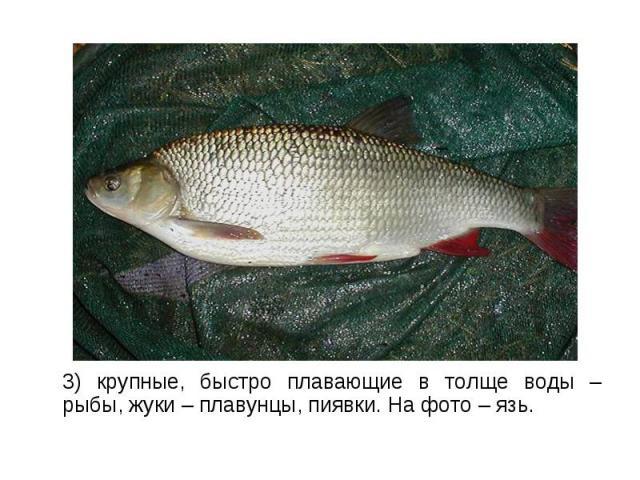 3) крупные, быстро плавающие в толще воды – рыбы, жуки – плавунцы, пиявки. На фото – язь. 3) крупные, быстро плавающие в толще воды – рыбы, жуки – плавунцы, пиявки. На фото – язь.