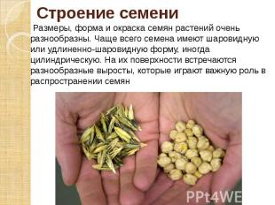 Строение семени Размеры, форма и окраска семян растений очень разнообразны. Чаще