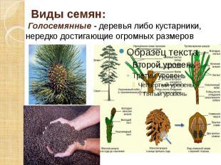 Виды семян: Голосемянные - деревья либо кустарники, нередко достигающие огромных