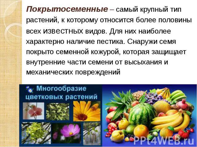Покрытосеменные – самый крупный тип Покрытосеменные – самый крупный тип растений, к которому относится более половины всех известных видов. Для них наиболее характерно наличие пестика. Снаружи семя покрыто семенной кожурой, которая защищает внутренн…
